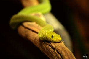 Green Mamba by Lionpelt-66