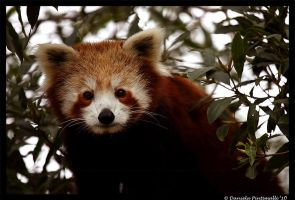Red Panda Portrait IV by TVD-Photography