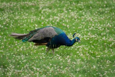 peacock 03 by DeathProof7891