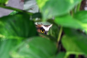 KL-Buffy Fish Owl Peering I by ImLookingForTime