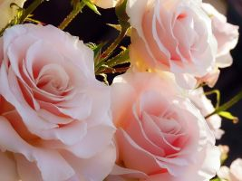 Pretty Pink Roses by Frostola