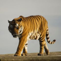 Prowling tiger 2 - Stock by Sassy-Stock