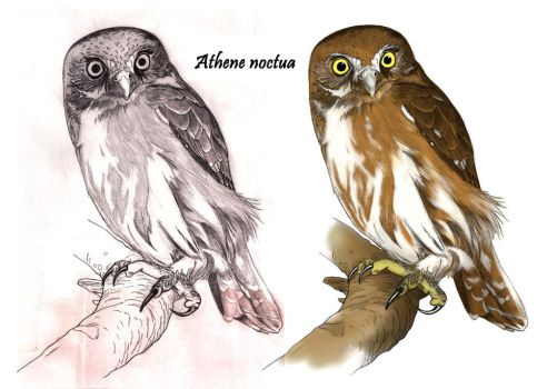 Athene noctua by MarcosBe
