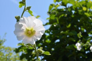 White Flower In The Sun by PoultryChamp