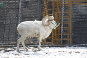 Dall Sheep 5 by CastleGraphics