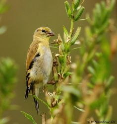 Goldfinch on weed stem by natureguy
