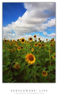 Sunflowers' Life by waiaung
