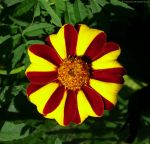French Marigold 566 by bobswin