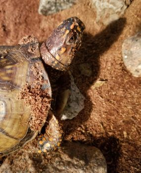 Myrtle the three toed boxturtle by tabithamack