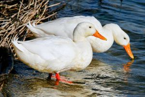 A Pair of Ducks by Daniel-Wales-Images