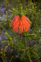 Swamp Bottlebrush by f56r78