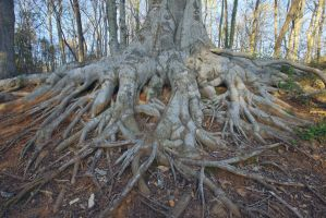 FREE STOCK IMAGE - Tree Roots by kevron2001