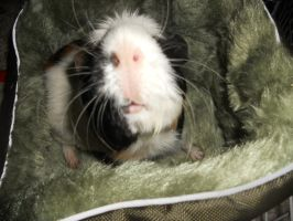 Nosey Pig by pomchillasitems