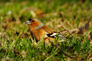Common Chaffinch by Namisao