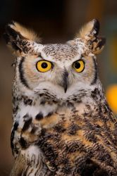 Great Horned Owl - Captive by Merlinstouch