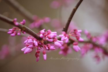 Redbud Tree 2 by LadyElisera