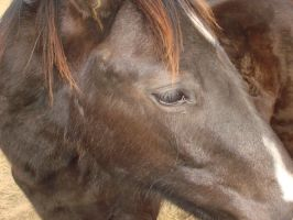 Close up: Horse by fuzzypurplequill