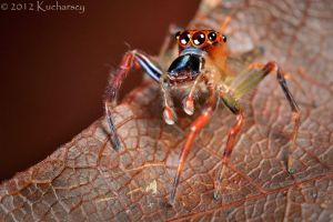 Colorful jumping spider by Dark-Raptor