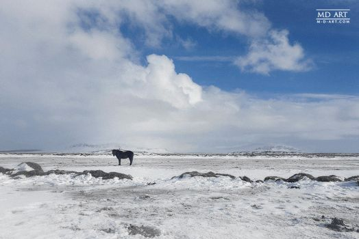 Icelandic Horse by MD-Arts