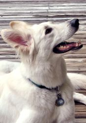 White German Shepherd Dog Profile 2 by lady-cybercat