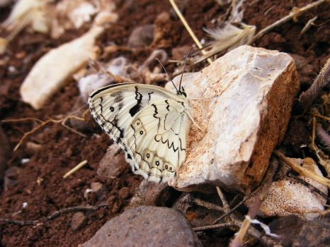 White butterfly by chuhani