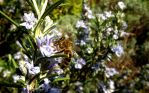 spring bee on rosemary by graphic-rusty