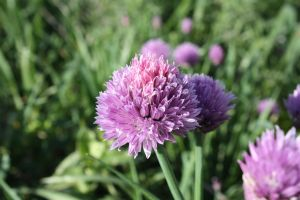 Chives Bloom by MercenaryEnclave