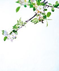 Whiteout (apple blossoms) by christopheberle