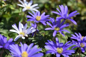 Blue Anemones by OfTheDunes