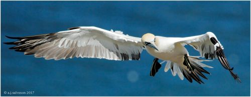 Incoming Gannet. by andy-j-s