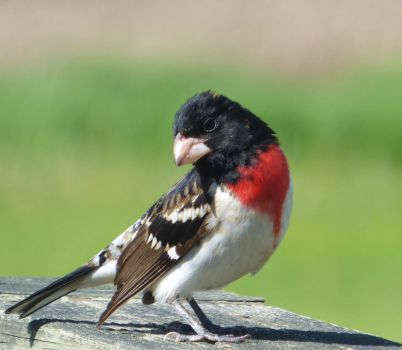 Rose-breasted Grosbeak by AppleBlossomGirl