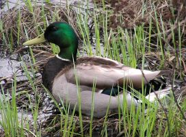 Male Mallard Duck Resting by JocelyneR