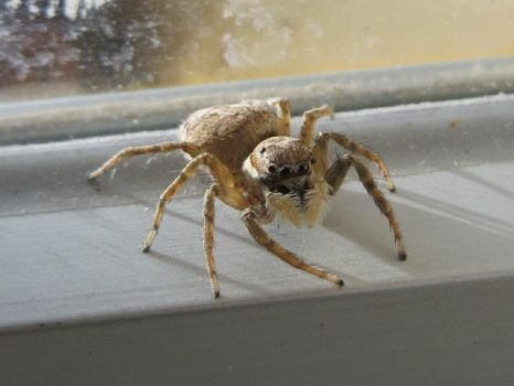 Jumping Spider by Regolith247