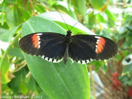 Common Postman Butterfly by ladyoftheshire