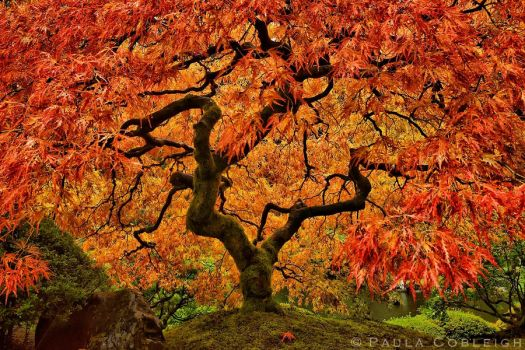 Japanese Maple - Crimson Queen by La-Vita-a-Bella