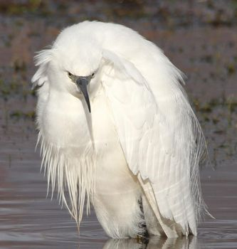 Little Egret after his bath by pell21