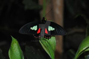 Cattleheart (Parides arcas) by fluffylink
