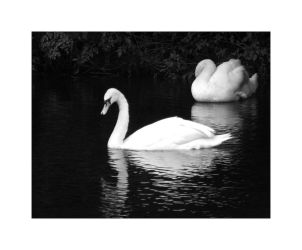 Swans by Enygma42