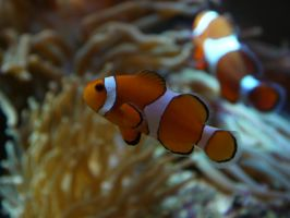 Clown Fish by yume-ryuu