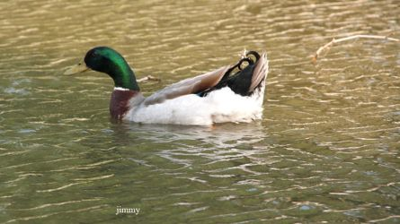 Duck in the pond by jcphotos