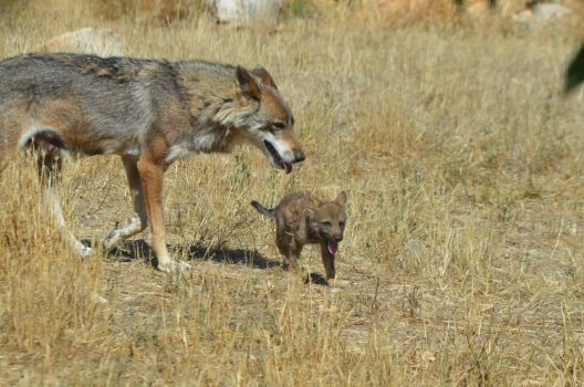 She wolf and kid wolf walking together by A1Z2E3R