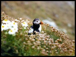 Puffin by Andy-Stewart