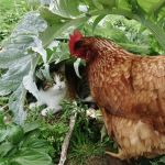 Un chat une poule / A cat a hen by PhotosCrystalJones