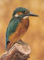 Kingfisher by pamslaats