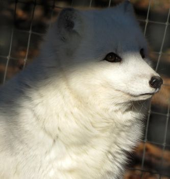 Arctic Fox Stock 2 by HOTNStock