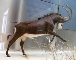 Sable Antelope stock by Rhabwar-Troll-stock