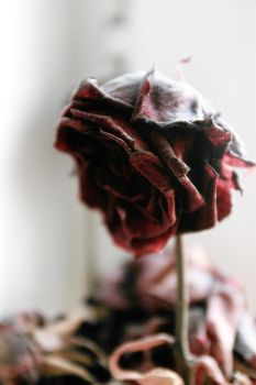 Calling Dead Red Roses by Desire--and--Sin