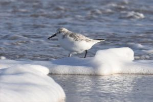 3785 Sanderling by RealMantis