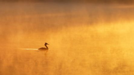 Great Crested Grebe by DeingeL