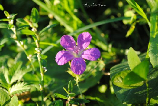 Wood's geranium. by Akatamy